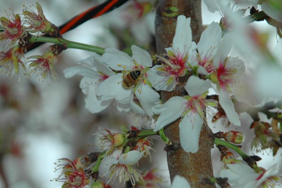 Almond blossoms in the spring.
